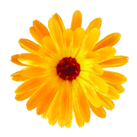 Suncare Ingredient Image: Organic Calendula Officinalis Flower Extract