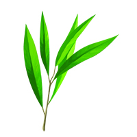 Suncare Ingredient Image: Organic Tea Tree Oil